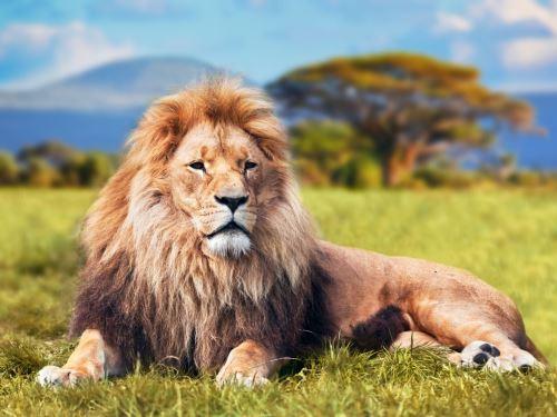 06 - Velký lev v savaně