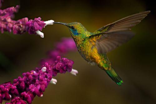 01- Krásný kolibřík s fialovým květem